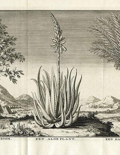"""""""Een Koffyboom - Een Aloeplant - Een Dadelboom"""" J.C. Philips, z czwartego tomu """"Hedendaagsche Historie of Tegenwoordige Staat van Alle Volkeren"""" (Tirion, 1732)"""